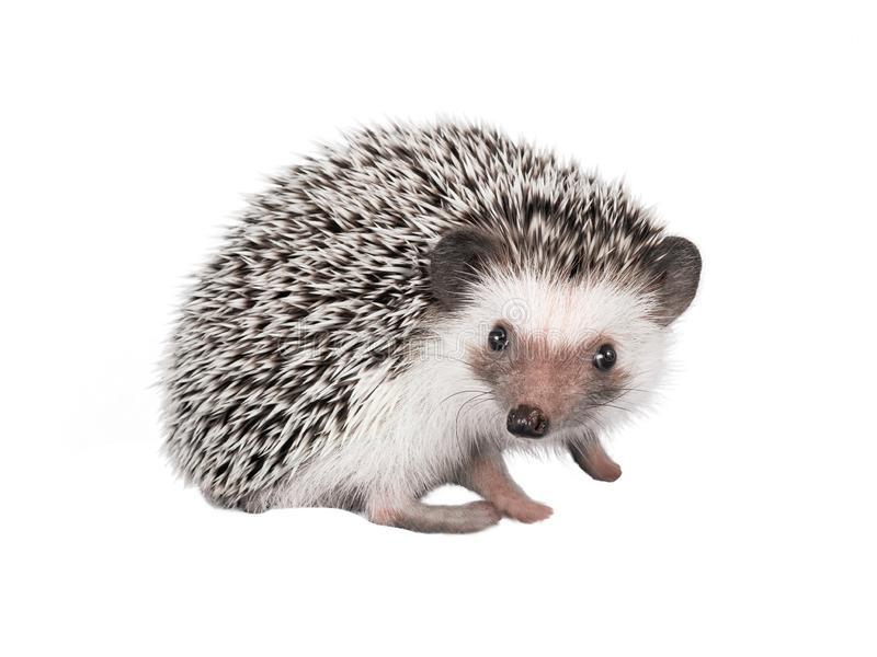redgehog